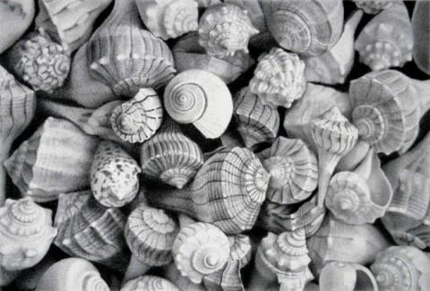 25-sea-shell-realistic-pencil-drawing-by-mayrolstad.preview